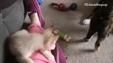 Brown cat greets white husky, named loca, for the first time