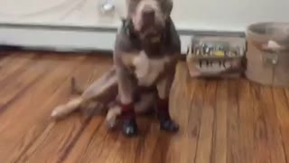@clydethebully_'s first time wearing booties!