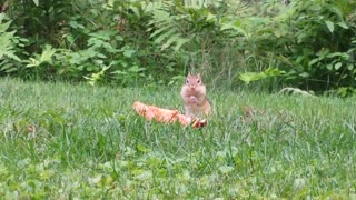 Adorable chipmunk devours pizza