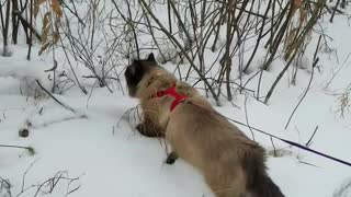 Cat Walks on Leash and Spots Dinner. - Video