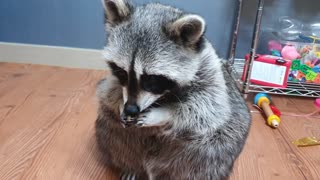 Raccoon Received Acorn as Present