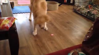 Dog and Cat Reaction to Laser Pointers - Funny Animal Reaction Videos