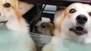 These Corgis In The Back Of A Car Are A Trunkfull Of Happiness