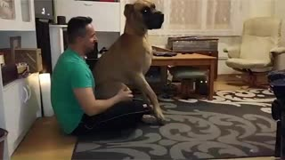 Great Dane is a lap dog - Video