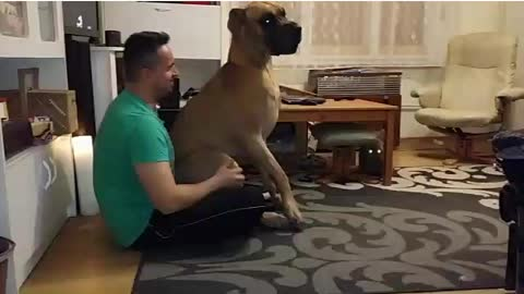 Great Dane is a lap dog