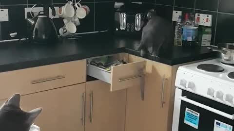 Clever cat opens kitchen drawer to retrieve toy