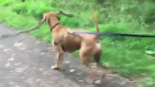 Brown dog carrying big tree branch  - Video