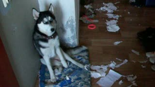 How to Shame a Husky - Video