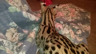 Aaliyah the Serval - Video