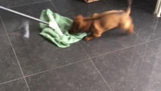 Puppy loves to bite mop  - Video