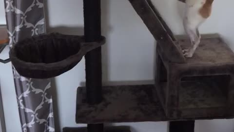 Chihuahua climbs cat tree to steal cats food