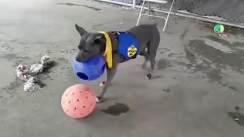 Dogy Playing with 2 Balls
