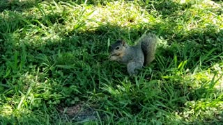 Squirrel eating habits in the park