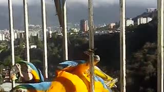 Breakfast with Macaws - Video