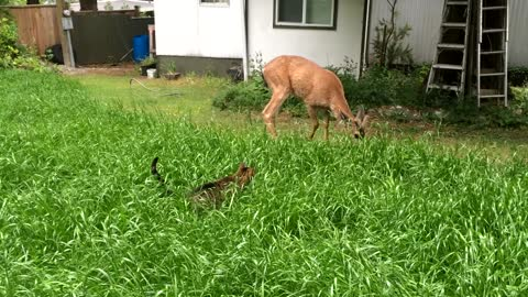 This Cat Stalks A Deer But Ends Up Falling In Love With It!