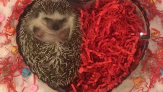 Tiny hedgehog hides in red chocolate box  - Video