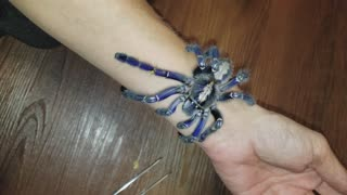Crazy Blue Tarantula - Video