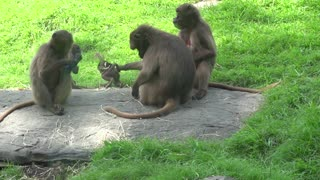 Mother Monkey Holds Baby By the Tail
