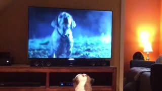 English Bulldog never misses her favorite commercial - Video
