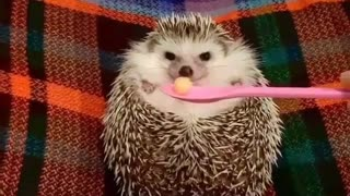 hedgehog has great smell for food