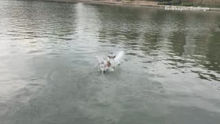 Brown dog jumping into lake in slow motion - Video