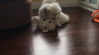 Two white dogs tumbling - Video