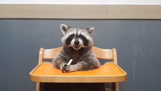 Raccoon chews on treat while sitting at a baby table