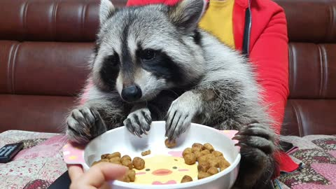Raccoon holds and rubs the food prescribed by the doctor so that it doesn't taste good.