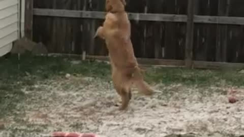 Dog bewildered by first snowfall, jumps to catch snowflakes