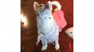 Adorable dog dances for yummy treats - Video