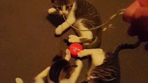 Kittens Playing With a YoYo