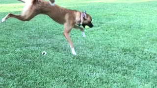 Slowmo brown dog jumps backward twists to catch tennis ball
