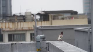 Female Pigeon Taking off From High House Roof