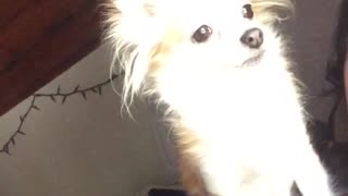 Small tan dog looks away from camera  - Video