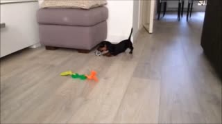 Puppy jumps for joy over new toys - Video