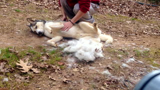 Time lapse proves that grooming a Husky is no easy task - Video