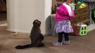 Capuchin monkey begs for hug from toddler
