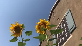 Hummingbirds and Sunflowers in the Morning  - Video