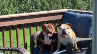 Naughty bulldogs caught jumping on patio furniture