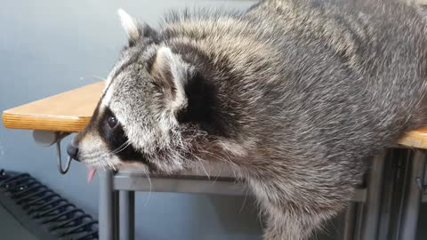 When Raccoon hears me eat snacks, he wakes up and asks me to give him snacks.