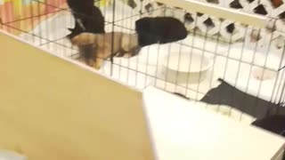Lady pets black puppy at puppy shelter  - Video