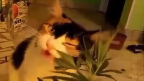 What happens when a cat eats marijuana??? Must see it!!!!