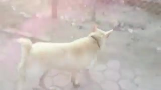 The Golden dog have a natural tail amputated - Video