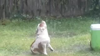 Bulldog Loves a Storm