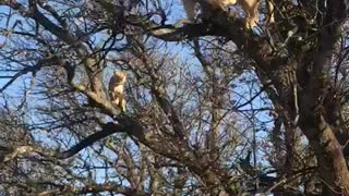 Did You Know Lions Can Climb Trees? - Video