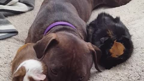 Caring Pit Bull Adorably Snuggles With Two Guinea Pigs
