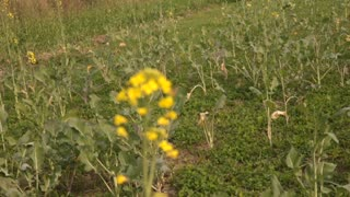 Beautiful view of Mustard flower  - Video