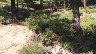 Bear Release That Almost Went Very Wrong. N. Lake Tahoe 9/2/15 - Video
