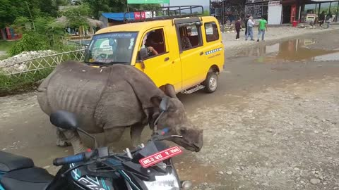Young  rhinoceros blocked the road. It has become a tourist attraction