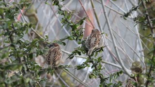 Watch a great video of a group of The Sparrow in the Tree